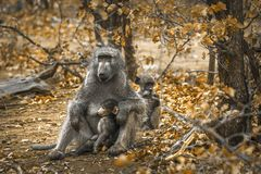 Chacma baboon in Kruger National park, South Africa. Specie Papio ursinus family of Cercopithecidae stock images