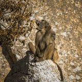 Chacma baboon in Kruger National park, South Africa royalty free stock images