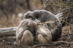 Chacma baboon in Kruger National park, South Africa Royalty Free Stock Image