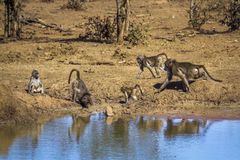 Chacma baboon in Kruger National park, South Africa. Specie Papio ursinus family of Cercopithecidae royalty free stock photos