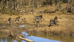 Chacma baboon in Kruger National park, South Africa. Specie Papio ursinus family of Cercopithecidae royalty free stock photo