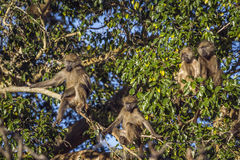 Chacma baboon in Kruger National park, South Africa. Specie Papio ursinus family of Cercopithecidae royalty free stock images