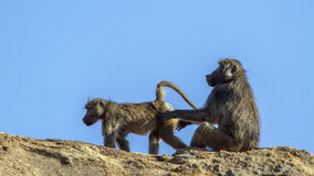 Chacma baboon in Kruger National park, South Africa. Specie Papio ursinus family of Cercopithecidae royalty free stock image