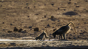 Chacma baboon in Kruger National park, South Africa. Specie Papio ursinus family of Cercopithecidae royalty free stock photography