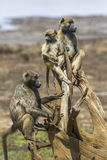 Chacma baboon in Kruger National park, South Africa. Specie Papio ursinus family of Cercopithecidae stock photography