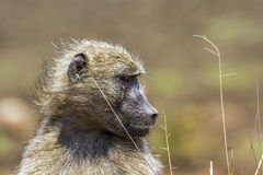 Chacma baboon in Kruger National park, South Africa. Specie Papio ursinus family of Cercopithecidae stock photo