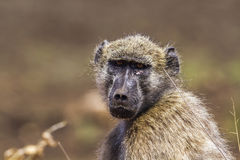 Chacma baboon in Kruger National park, South Africa. Specie Papio ursinus family of Cercopithecidae stock photos