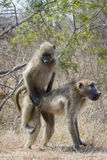 Chacma baboon in Kruger National park Stock Photography