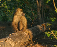Chacma Baboon male. Chacma Baboons (Papio cynocephalus ursinus) travel in large troops in the Okavango Delta because of the rich habitat Stock Photos