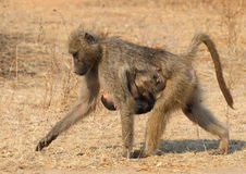 Chacma Baboon mom Stock Image