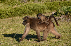 Chacma Baboon Mother And Baby Stock Images