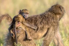 Chacma baboon mother with child looking. Chacma baboon (Papio ursinus) Mother with young child riding on back looking at camera in Kruger national park South royalty free stock images