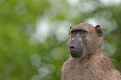 Chacma Baboon mug-shot. A portrait of a curious Chacma Baboon in the Kruger National Park, South Africa stock photo