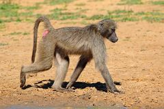 Chacma baboon in natural habitat stock image
