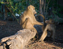 Chacma Baboon pair. Chacma Baboons (Papio cynocephalus ursinus) are very social, living in female-bonded groups of 4 to 100 individuals royalty free stock image