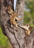 Chacma baboon (Papio cynocephalus) Stock Image