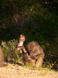 Chacma baboon (Papio cynocephalus). With her baby in South Africa stock photos