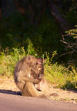 Chacma baboon (Papio cynocephalus). With her baby in South Africa royalty free stock photo