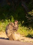 Chacma baboon (Papio cynocephalus) Royalty Free Stock Photos