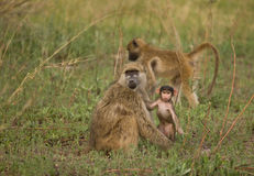 Chacma Baboon (Papio cynocephalus) juvenile. Chacma Baboons (Papio cynocephalus ursinus) are very social, living in female-bonded groups of 4 to 100 individuals stock photos