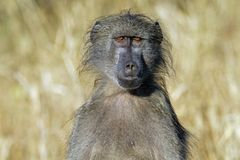 Chacma baboon (Papio cynocephalus ursinus) Stock Image