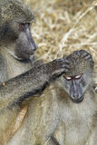 Chacma baboon (Papio cynocephalus ursinus) Stock Photo