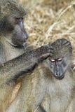 Chacma baboon (Papio cynocephalus ursinus). Chacma baboons (Papio cynocephalus ursinus), Kruger National Park stock photo