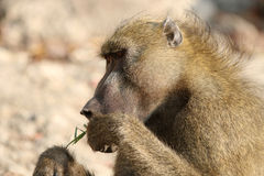 Chacma Baboon Royalty Free Stock Photography