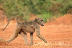 Chacma baboon Stock Photo