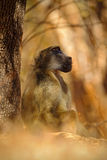 Chacma baboon, Papio hamadryas ursinus, monkey in the nature habitat, Victoria Falls, Zambezi River, Zimbabwe stock photos
