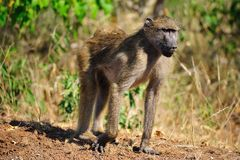 Chacma Baboon (Papio ursinus). The Chacma Baboon (Papio ursinus), also known as the Cape Baboon, is, like all other baboons, from the Old World monkey family ( royalty free stock photos
