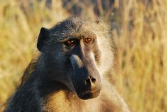 Chacma Baboon (Papio ursinus). The Chacma Baboon (Papio ursinus), also known as the Cape Baboon, is, like all other baboons, from the Old World monkey family ( stock photo
