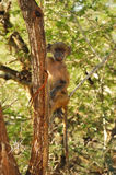 Chacma Baboon (Papio ursinus). The Chacma Baboon (Papio ursinus), also known as the Cape Baboon, is, like all other baboons, from the Old World monkey family ( stock image