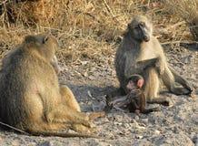 Chacma baboon (Papio ursinus). Stock Photos