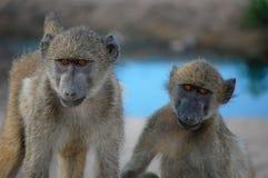 Chacma baboon (Papio ursinus). Royalty Free Stock Image