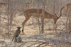 Chacma Baboon (Papio ursinus) baby with impala in the background Royalty Free Stock Photos