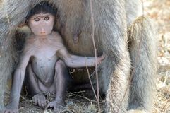Chacma baboon (Papio ursinus) baby Stock Images