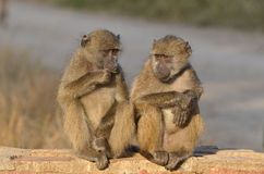 Chacma baboon (Papio ursinus) Royalty Free Stock Photography