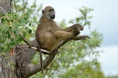 Chacma baboon (Papio ursinus) Stock Image