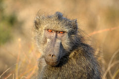 The Chacma Baboon (Papio ursinus) expression Stock Photos