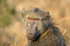 The Chacma Baboon (Papio ursinus) expression Stock Photo