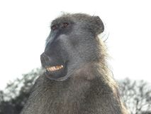 Chacma baboon (Papio ursinus) expressions Royalty Free Stock Photography