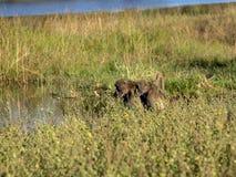 Chacma Baboon, Papio ursinus griseipes, by the lake, reservation Bwabwata, Namibia Stock Photography