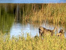 Chacma Baboon, Papio ursinus griseipes, by the lake, reservation Bwabwata, Namibia Royalty Free Stock Photography