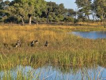 Chacma Baboon, Papio ursinus griseipes, by the lake, reservation Bwabwata, Namibia Royalty Free Stock Photos