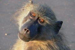 Chacma baboon (Papio ursinus) Royalty Free Stock Photo