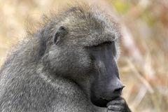 Chacma baboon (Papio ursinus) Stock Photo