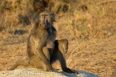 The Chacma Baboon (Papio ursinus) Stock Photos