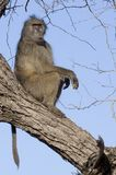 Chacma baboon (Papio ursinus) Royalty Free Stock Photo