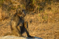 Chacma baboon (Papio ursinus) Stock Images